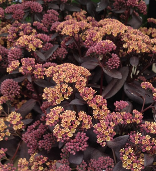 Sedum 'Xenox Yellow'