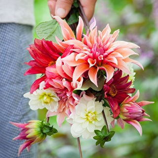 Best Ever Dahlia Collection