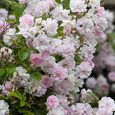 Rose 'Paul's Himalayan Musk'