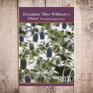 Eryngium 'Miss Wilmotts Ghost'