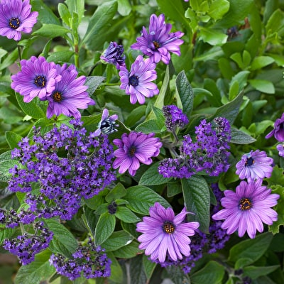 Heliotrope and Osteospermum Collection