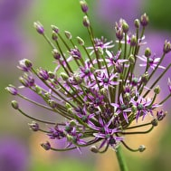 Allium 'Spider'