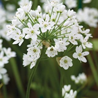 White Allium Collection