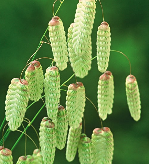Briza maxima (Greater quaking grass)