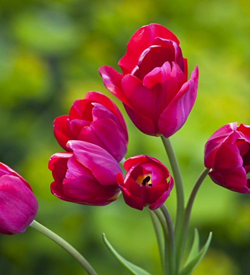 Tulip 'Red Georgette'