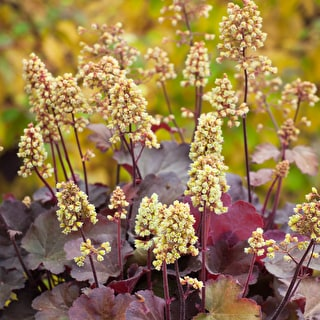 Heuchera Little Cutie 'Blondie'