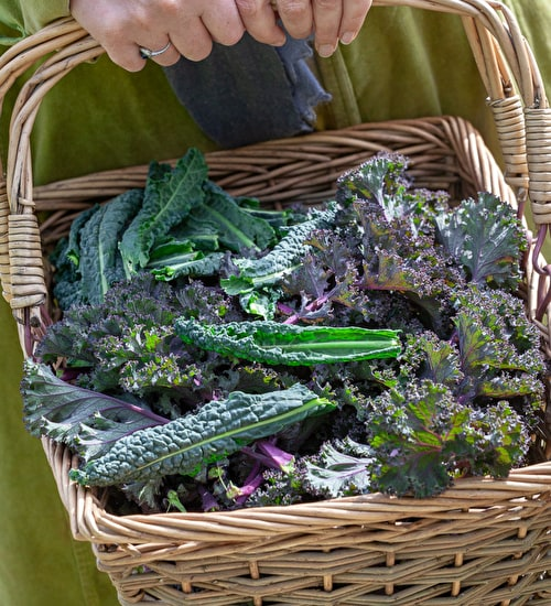 Special Offer Kale 'Nero di Toscana' and 'Redbor'
