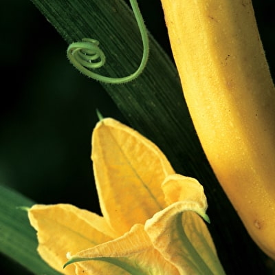 Courgette 'Soleil' F1