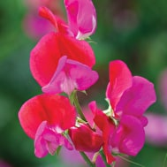 Sweet Pea 'Prince Edward of York'