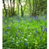 Bluebell Woodland Mix