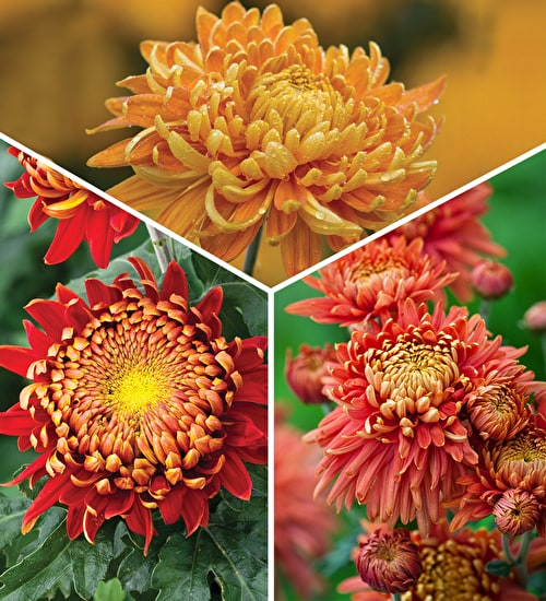Copper & Gold Chrysanths Collection