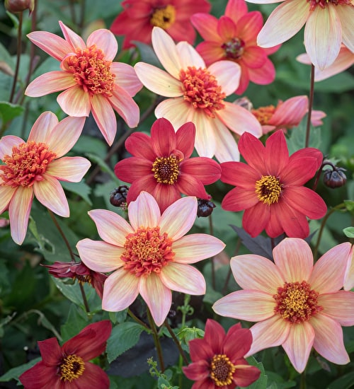 Best Border Dahlia Collection