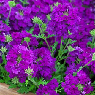 Verbena 'Aztec Plum Magic'