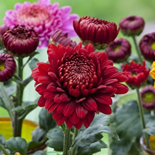 Chrysanthemum 'Payton Blaze Red'