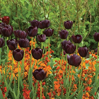 Tulip 'Queen Of Night'