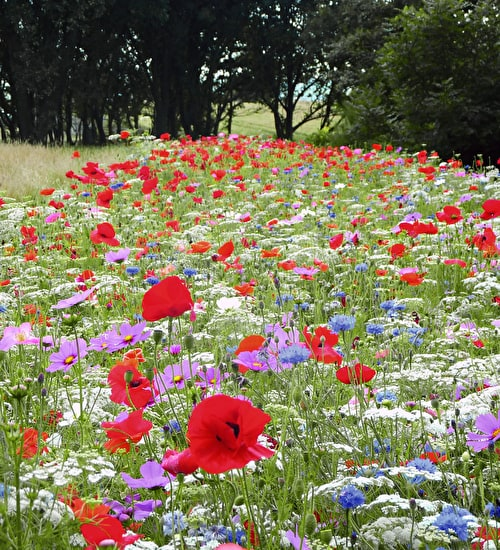 Pictorial Meadows Pastel Annual Mix
