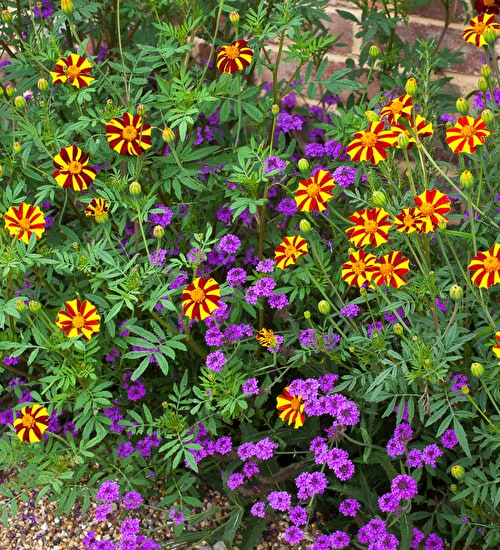 Verbena and Tagetes Collection