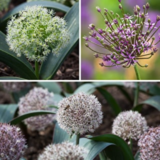 Allium for Containers Collection