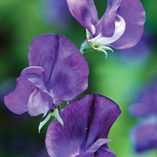 Sweet Pea 'Lord Nelson'
