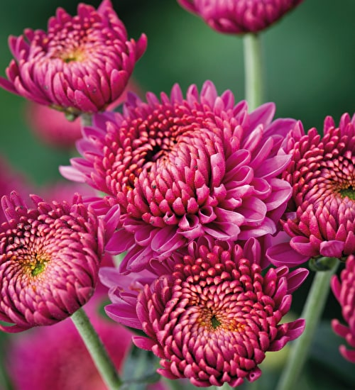 Chrysanthemum 'Blenda Purple'