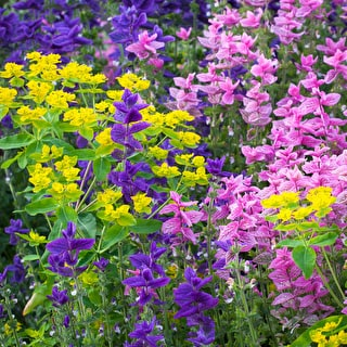 Special Offer Salvia 'Blue' and 'Pink'