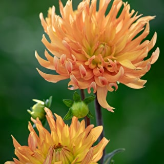 Mexican Star Dahlia Collection
