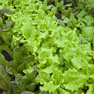 Lettuce 'Black Seeded Simpson'
