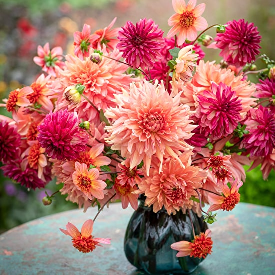 Dahlia Collections