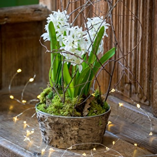 Potted Hyacinths in Zinc & Bark Bowl Gift Set