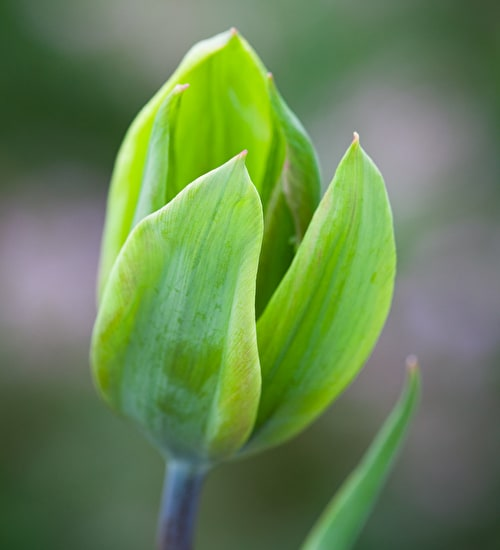 Tulip 'Evergreen'