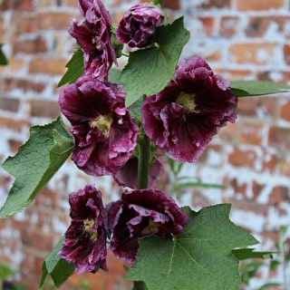 Hollyhock rosea 'Blackcurrant Whirl'