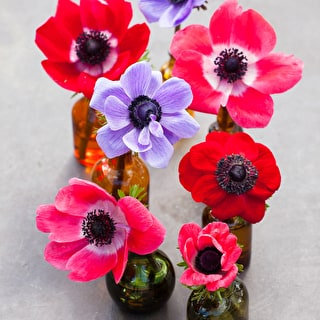 Anemone Colour Mix