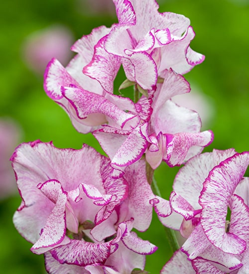 Sweet Pea 'Balcony Purple'