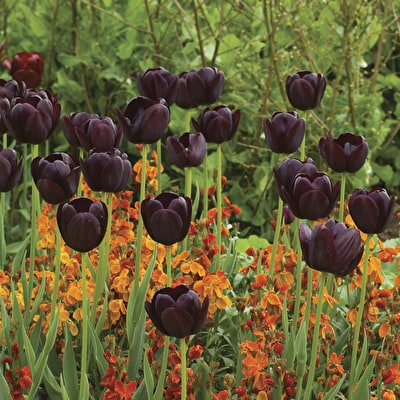 Tulip 'Queen of Night' and Wallflower 'Sunset Bronze Shades'