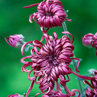 Chrysanthemum 'Tarantula Red'
