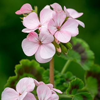 Pelargonium 'Horizon Appleblossom' F1