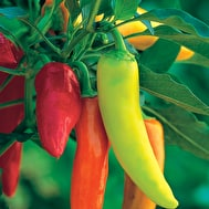 Chilli 'Hungarian Hot Wax'