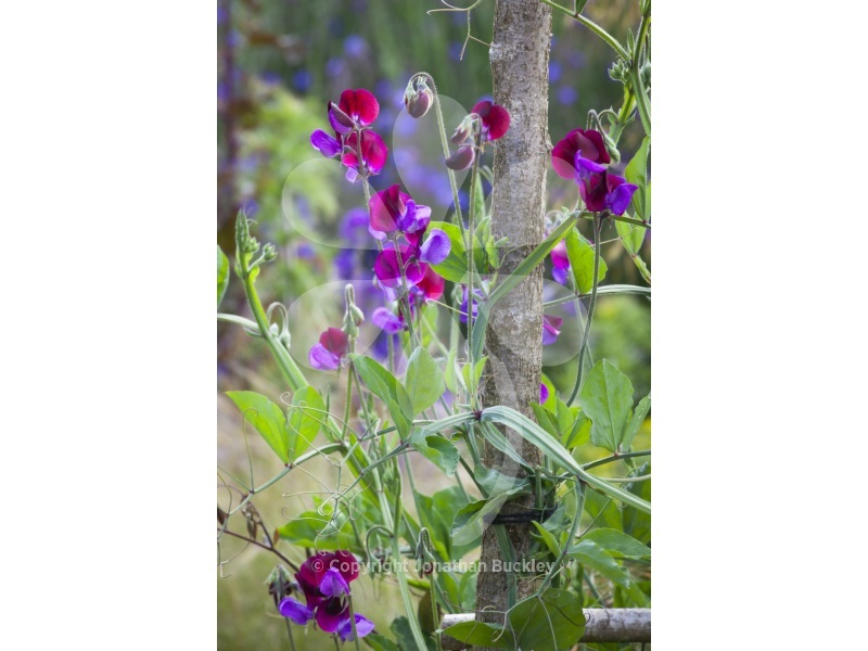 Sweet Pea Matucana (4 seedlings)