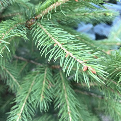 Pot-grown Norway Spruce