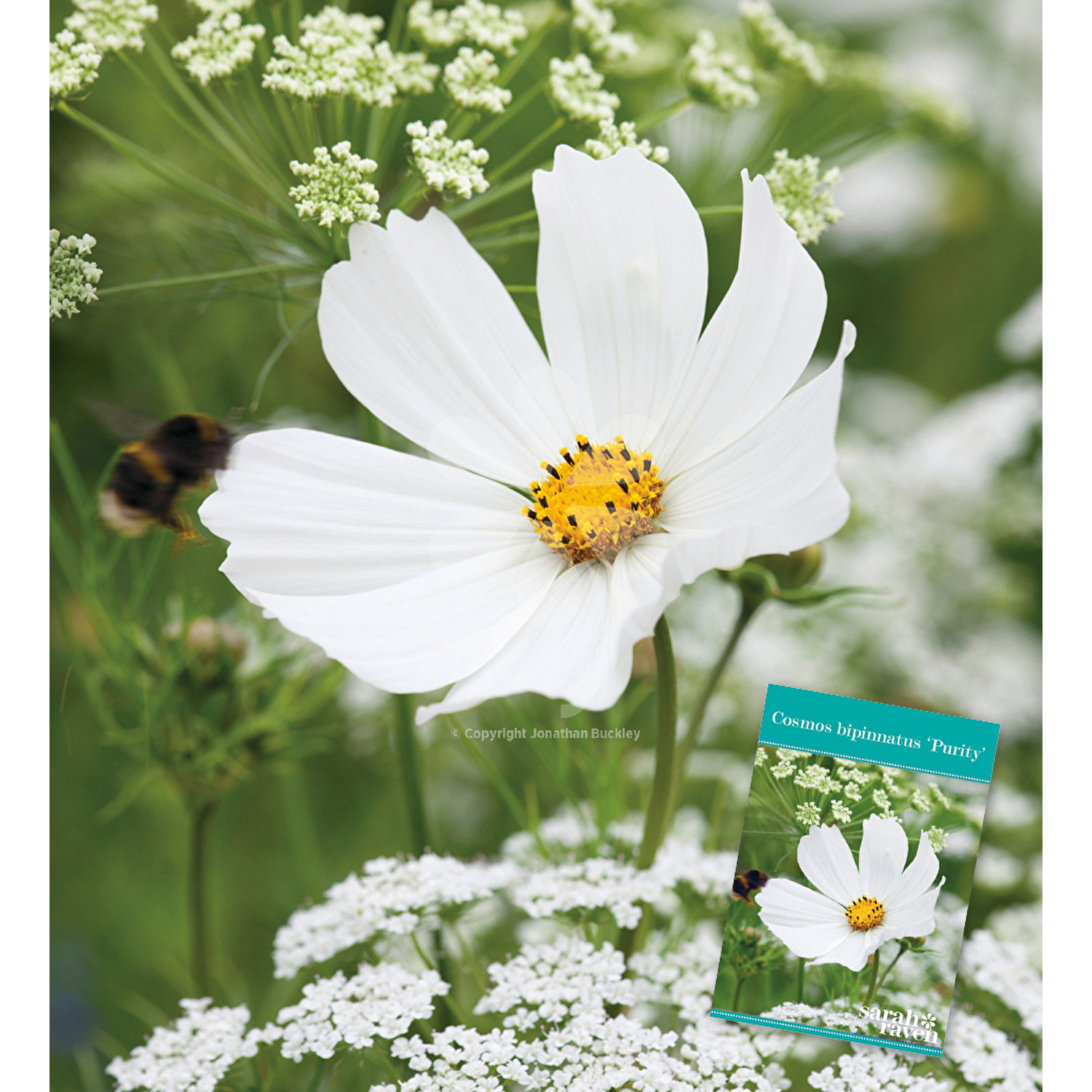 Group Of White Cosmos Flowers Green