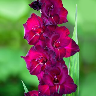 Hollywood Gladioli Collection