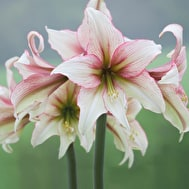 New Amaryllis Collection