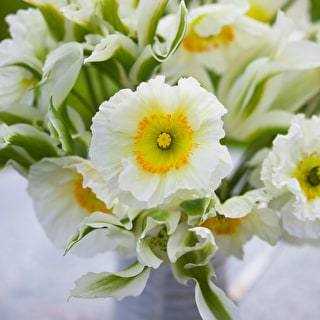 Papaver nudicale 'Champagne Bubbles' White