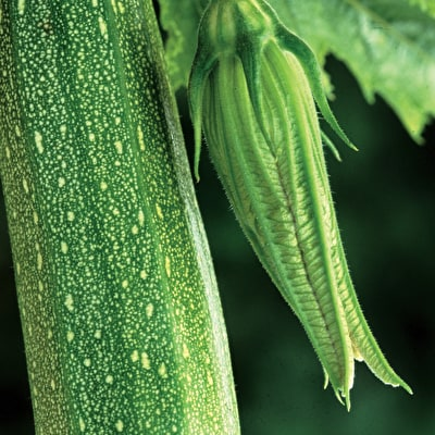 Courgette 'Defender' F1