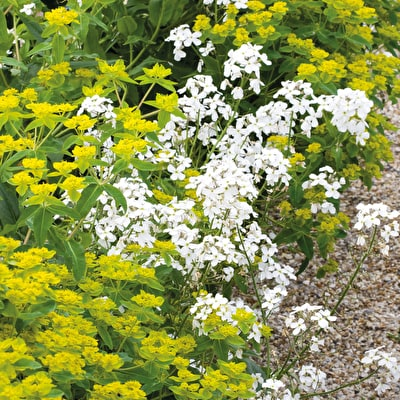 Hesperis matronalis 'White'