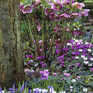 Bulbs for Naturalising in Shade Collection