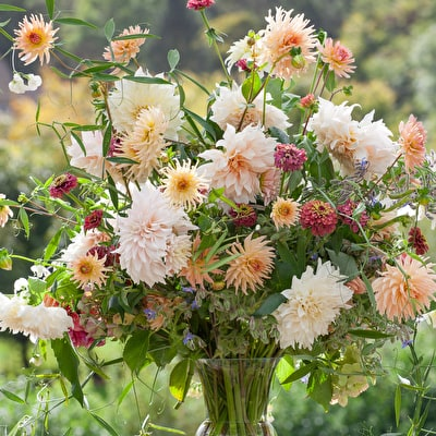 Café au Lait Dahlia Collection