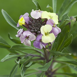 Erysimum 'Plant World Lemon'