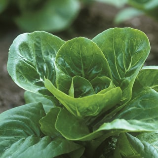 Lettuce 'Jabeque'