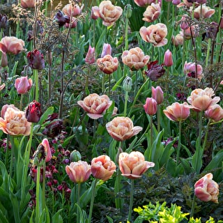 Blackberry Smoke Tulip Collection